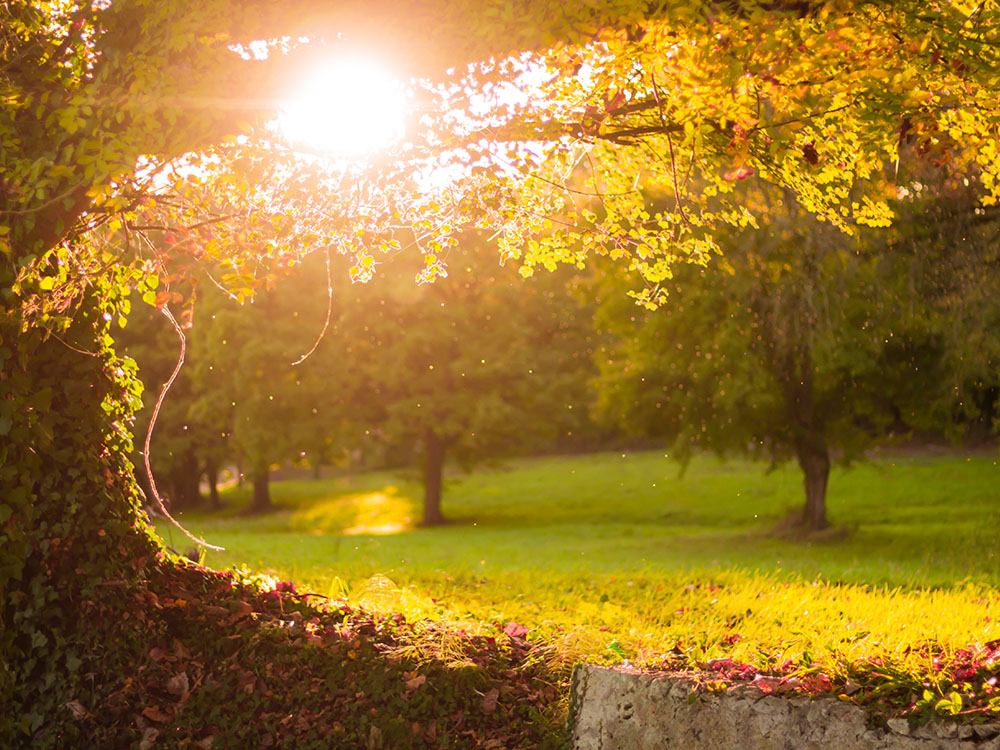 a golden sunset on an old maple tree, in a well manicured clearing