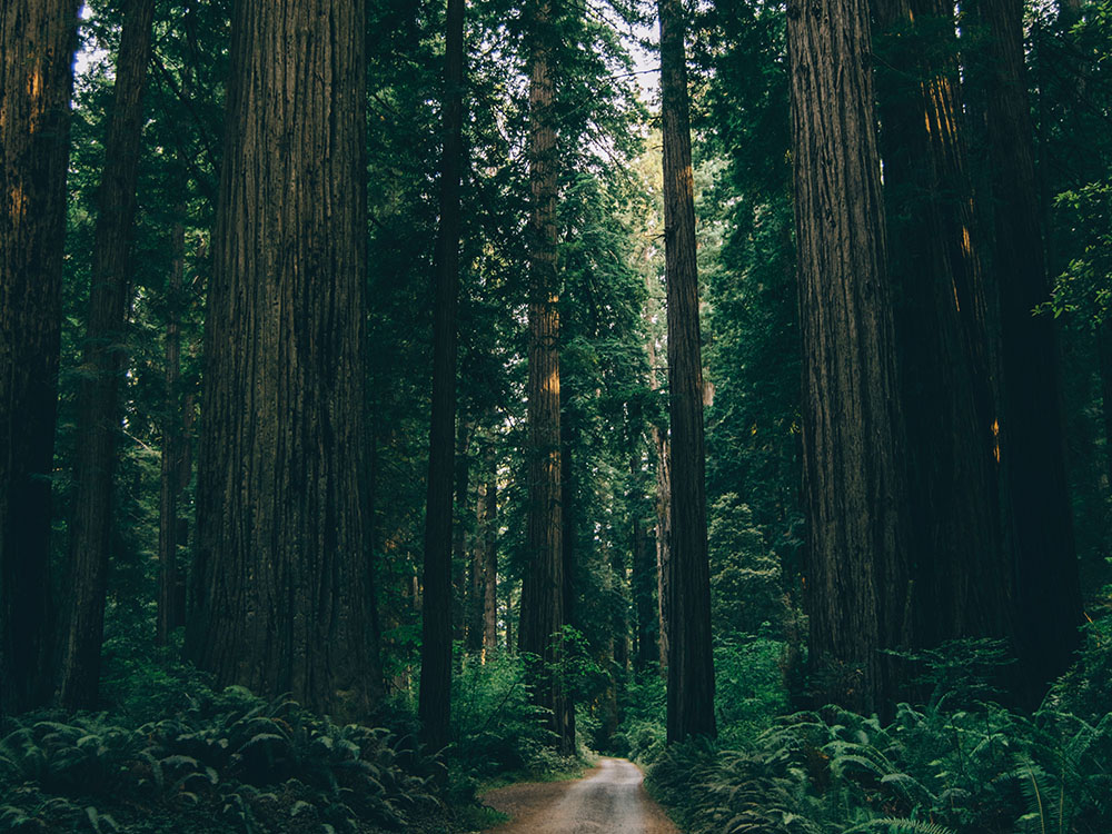 a well traveled dirt path through an old growth forest