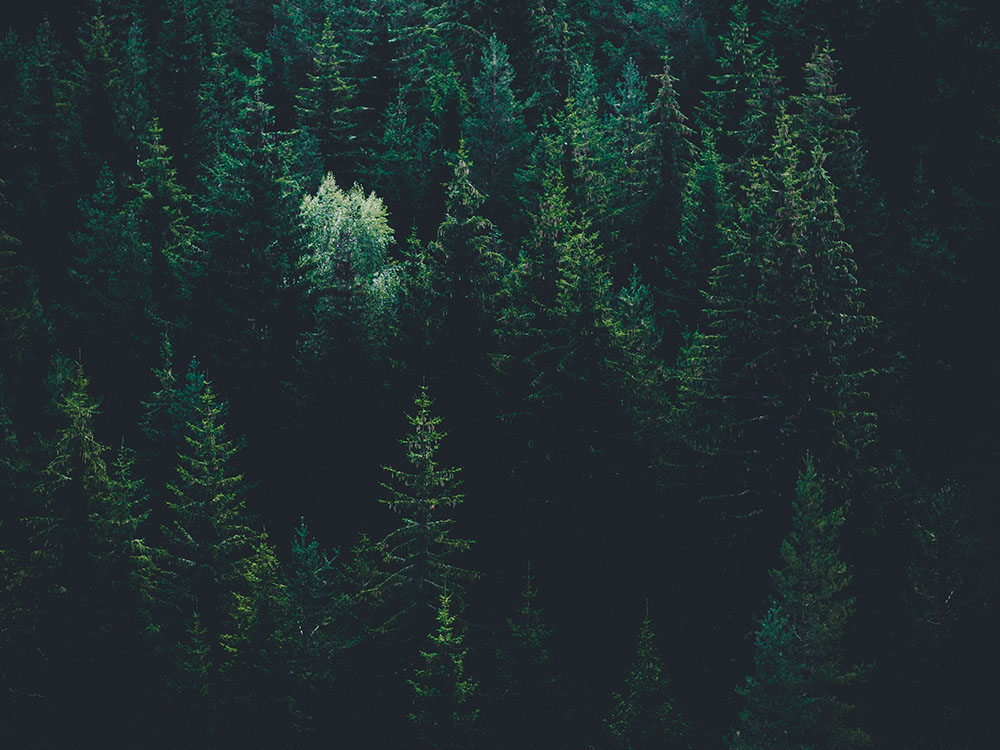 a dense spruce forest